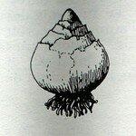 Bulbe_de_Jacinthe