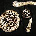 Amanita spissacea 1989_0914_0006