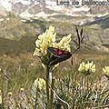Oxytropis champêtre