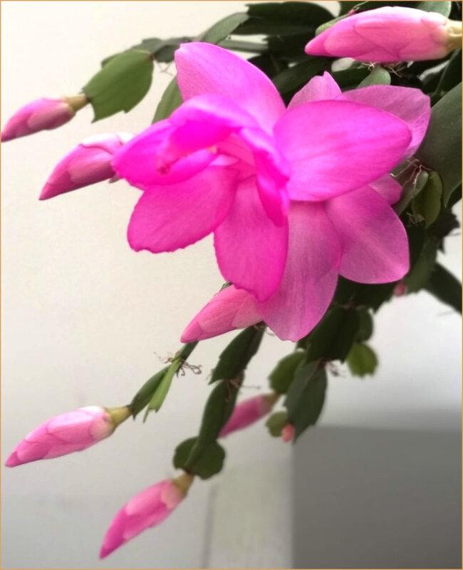 cactusnoel20