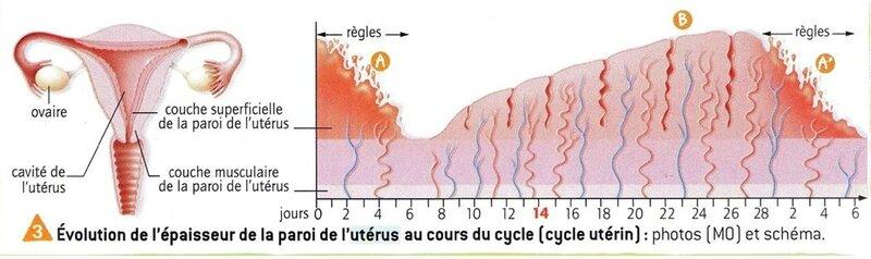 uterus-regles