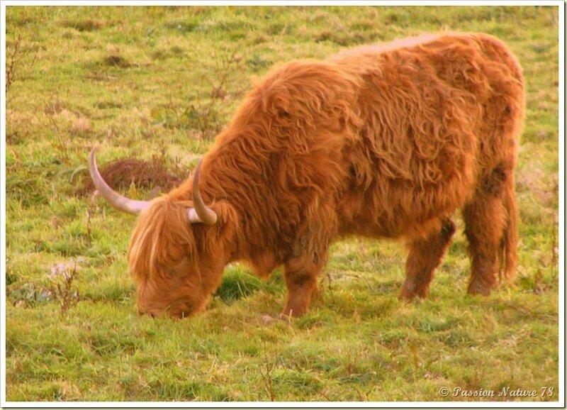 La vache de race Highland (7)
