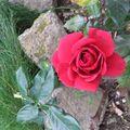 Dernière rose du jardin de ma fille, près du luxembourg
