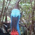 Cassowary, de dos