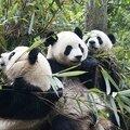 Alerte en chine : la maladie de carré frappe les pandas géants !