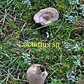 Lactarius sp