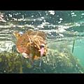 Rascasse au dart squid