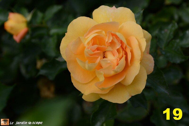 19-Palmarès du Concours International de roses 2016