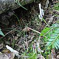 Clavulina rugosa