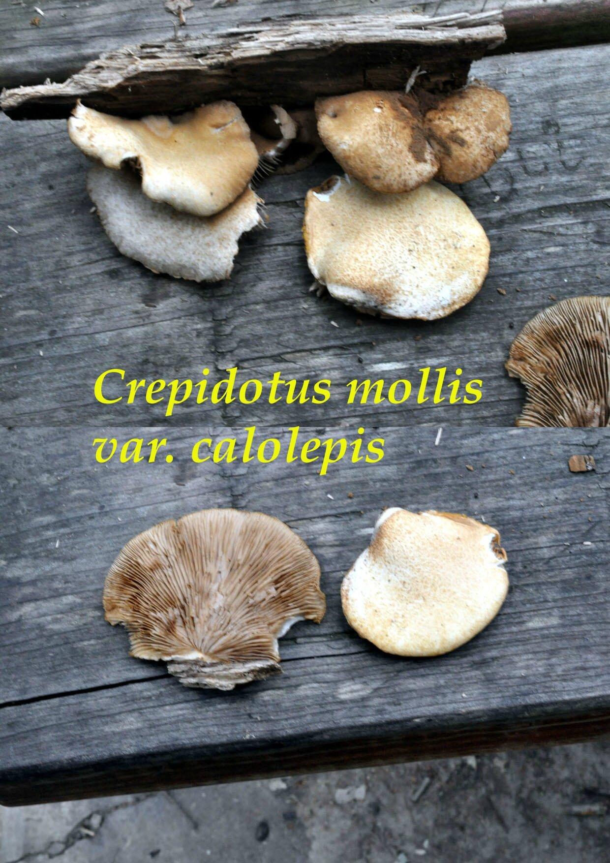 Crepidotus mollis var