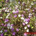 Brunfelsia magnifica - Yesterday-Today-Tomorrow