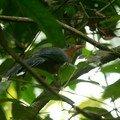 Phaenicophaeus javanicus3_Taman Negara_XRu