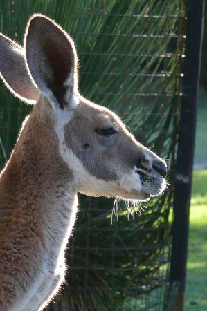 kangourou_3