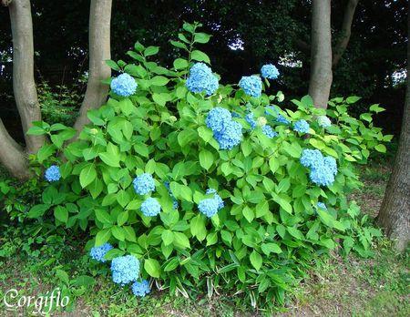 jardin_080711_ajisaiShiogama_01