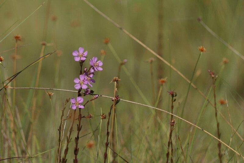 Acisanthera bivalvis