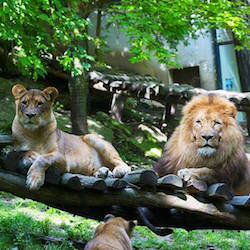 Un lion au zoo de Beauval
