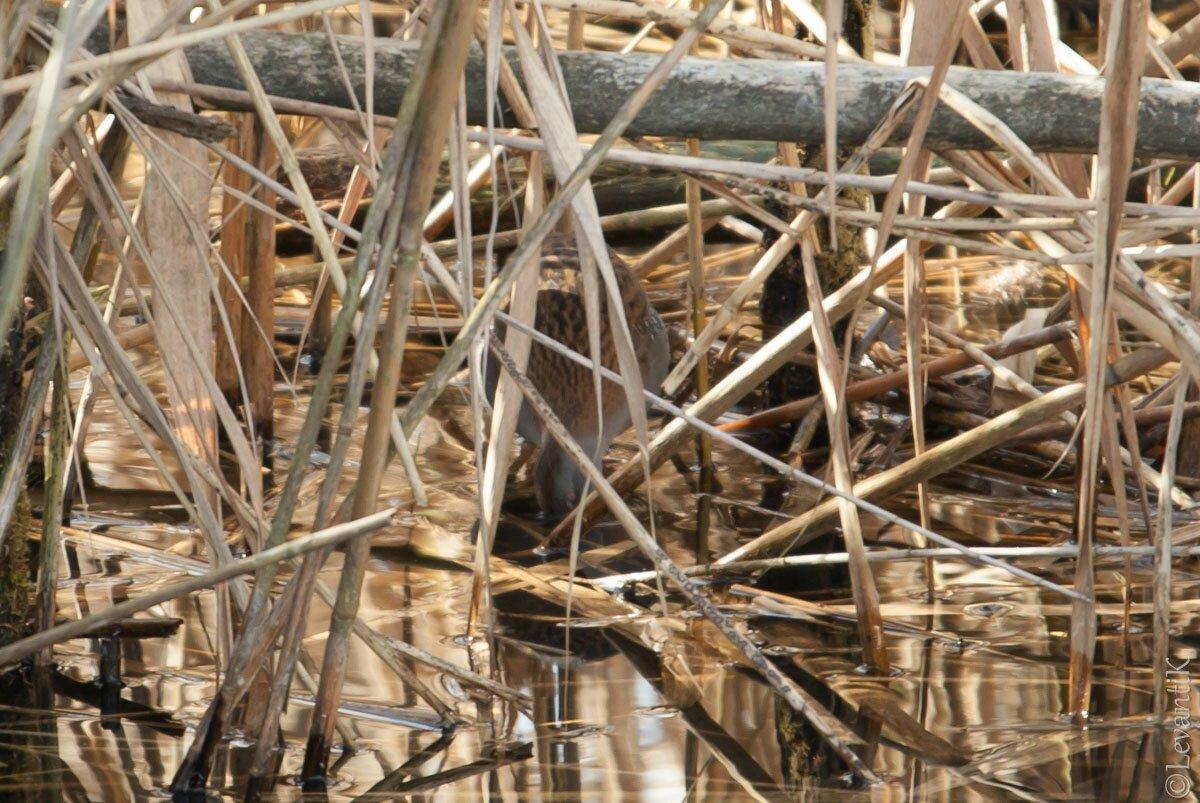Râle d'eau - Rallus aquaticus (2)