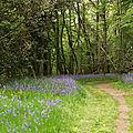 Les jacinthes des bois sont en fleurs...!