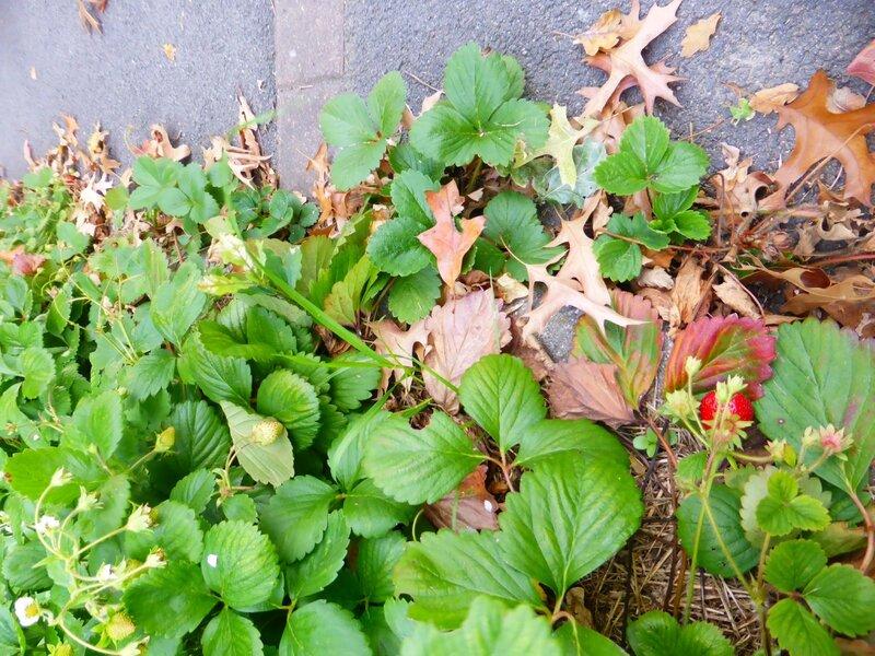 12-fraisiers (4)