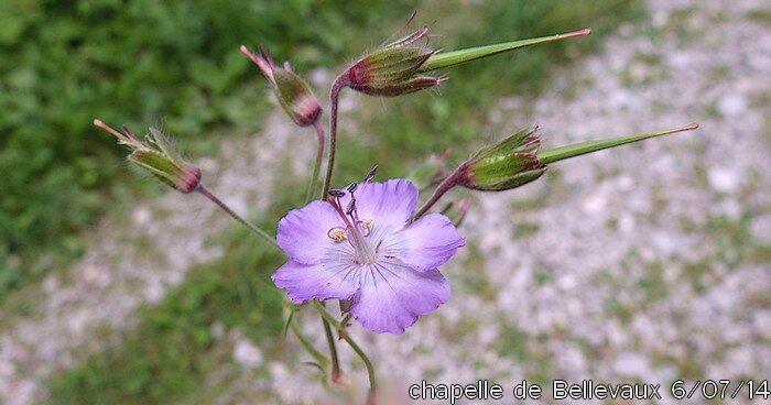 geranium phaeum subsp lividum