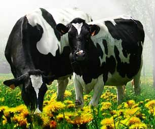 hp07_vaches_1_
