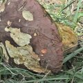 Boletus pseudoregius (4)