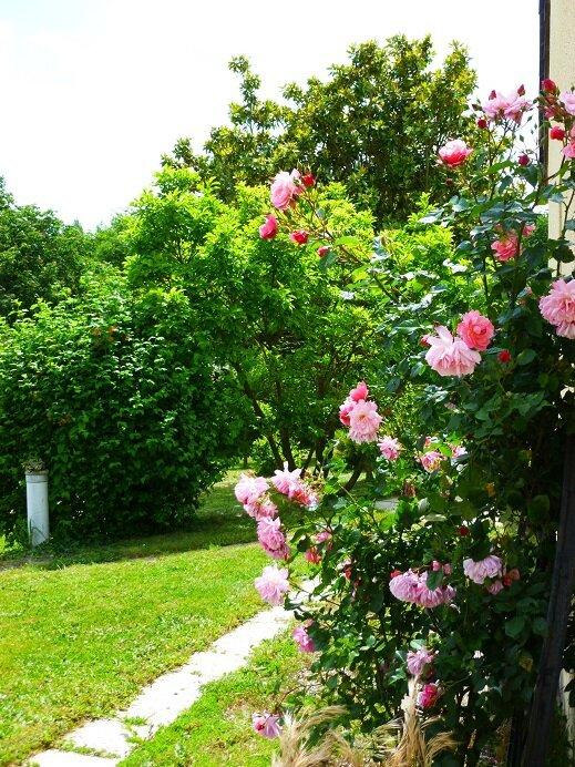 Rose rose d la roue 2015 05 29 -15% BPat