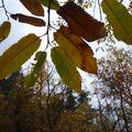 2009 11 15 Chataigner au couleur de l'automne