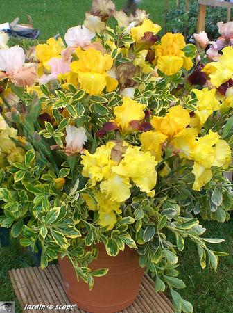 9361_Bouquet_d_iris_jaune