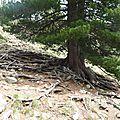 P1050644 Pin Cembro avec ses drôles de racines
