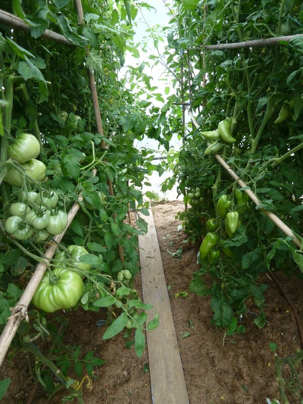 26-serre tomates (3)