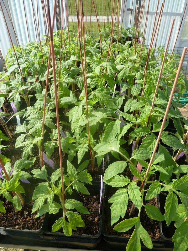 14-tomates et serre (9)