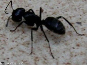 Fourmi noire des jardins • Lasius niger