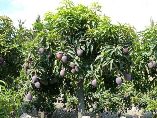 mangue arbol_irwin