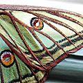 L'isabelle ou papillon vitrail