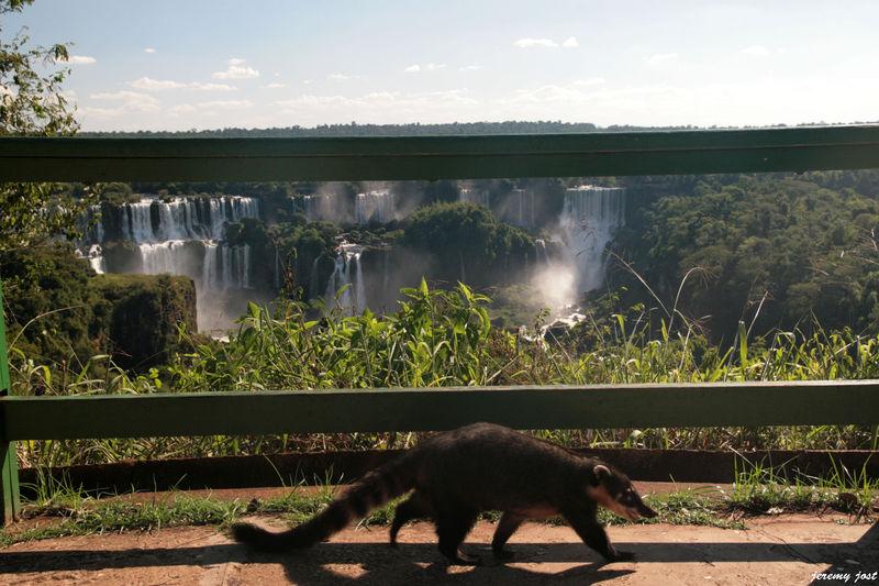 Koati devant les chutes