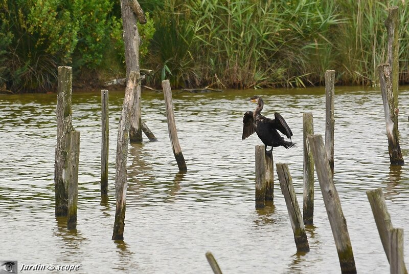 Grand Cormoran • Phalacrocorax carbo