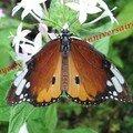 Côté Papillons et autres jolis insectes...