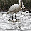 Parc Ornithologique du Teich - Spatules blanches (Platalea leucorodia)
