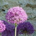 Fleur Alium