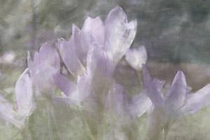 malcolm-sanders-crocus-blur-i_u-l-f875er0