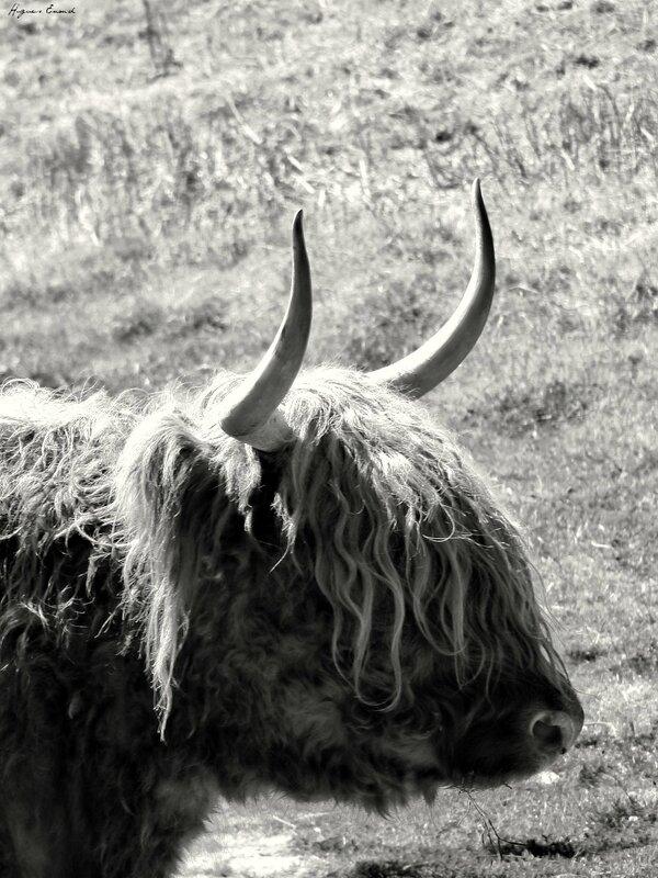 18 higland cow