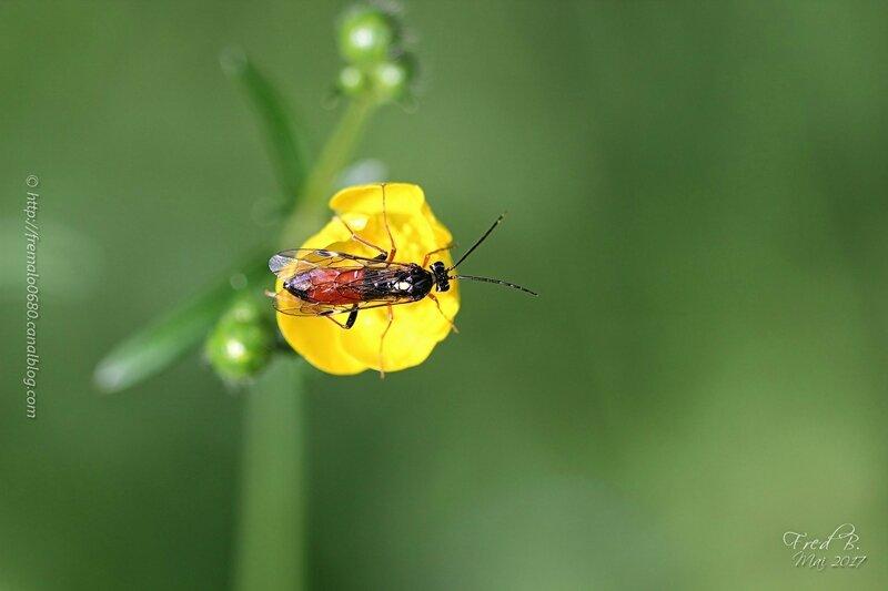 Tenthredopsis sp (scutellaris?)