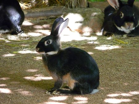 800px_Lapin_ch_vre__4_