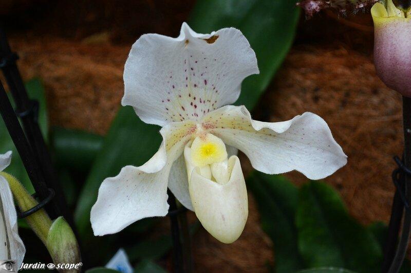Orchidée-324