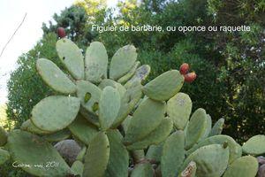DSC01932_Figuier_de_Barbarie_ou_oponce_ou_raquette_MOD