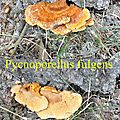 Pycnoporellus fulgens
