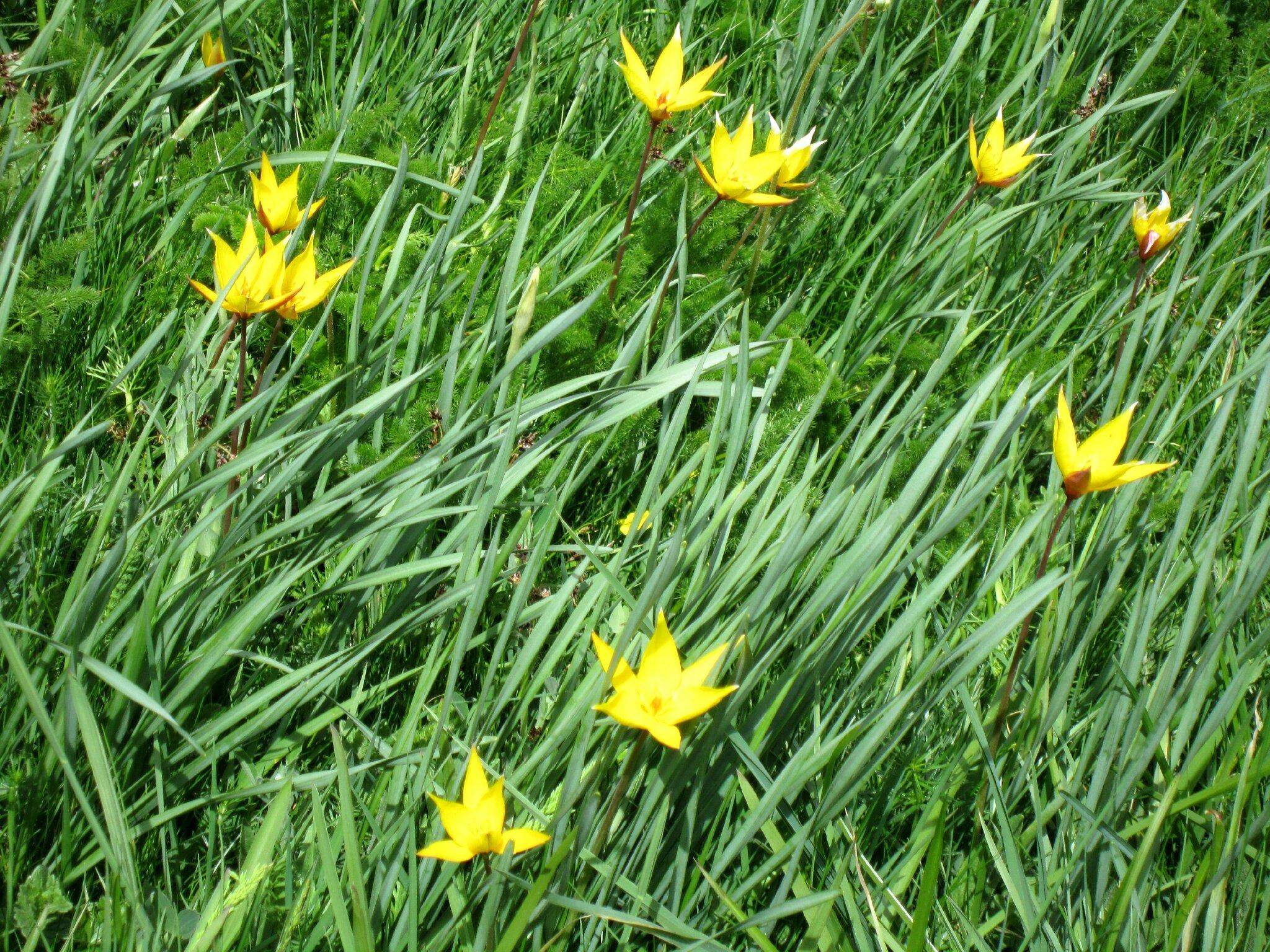 Tulipes sauvages (Aubrac)