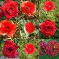 Roses et coquelicots