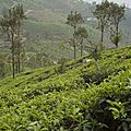 66Sri Lanka, Thé